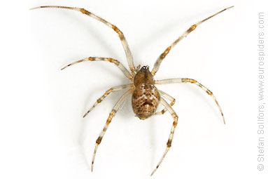 Glasshouse comb-foot Achaearanea tepidariorum