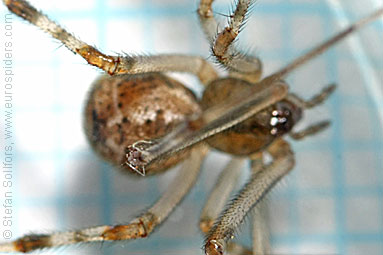 Wild gallows-spider Achaearanea tepidariorum