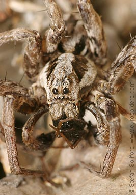 Great fox-spider Alopecosa fabrilis