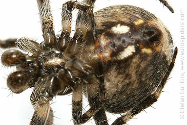 - Azorean spiders