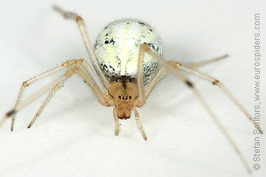 Candystripe  or Polymorphic spider Enoplognatha ovata