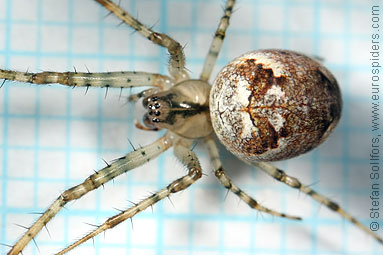 Autumn spider Metellina segmentata