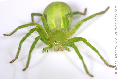 Green Huntsman spider Micrommata virescens
