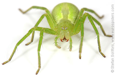 Micrommata virescens - the Green Huntsman spider