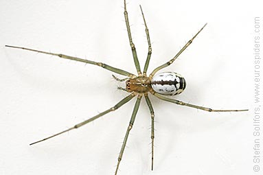 Black-tailed hammock-spider Neriene emphana