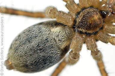 Field wolf-spider Pardosa agrestis