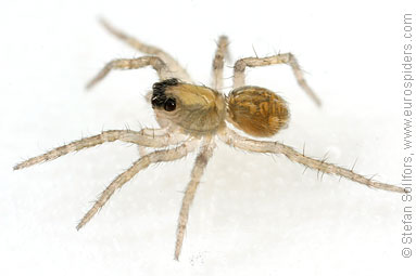 Pardosa amentata - the Spotted wolf spider