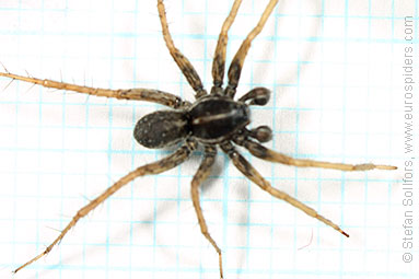 Marsh wolf-spider Pardosa palustris