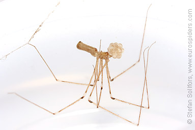 Daddy-longlegs spider  Pholcus phalangioides