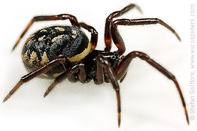 White-spotted false-widow Steatoda albomaculata