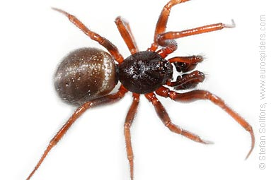 Common false-widow Steatoda bipunctata