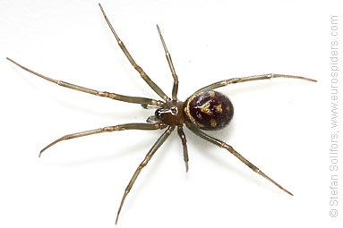 Large false-widow Steatoda grossa
