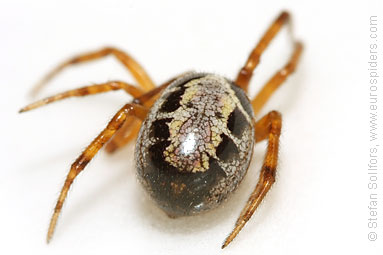 Noble false-widow Steatoda nobilis