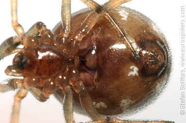 Oak-leaf false widow Steatoda triangulosa