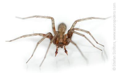 Common House-spider Tegenaria domestica