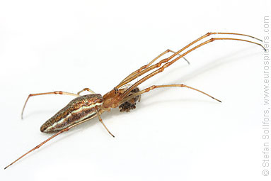 Common stretch-spider Tetragnatha extensa