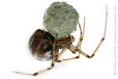 Mother care spider Theridion sisyphium