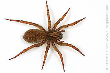 Ground wolf-spider Trochosa terricola